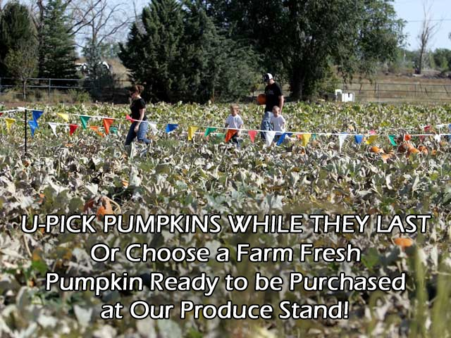 U-Pick Boutique Pumpkins